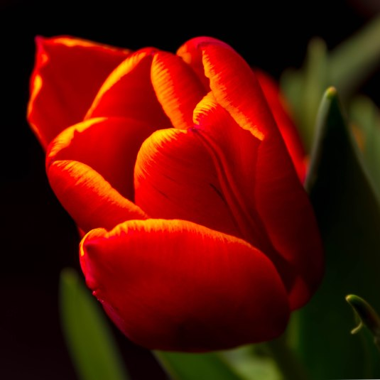 52 Projects - Shoot 5 - Tulips-8119-HDR