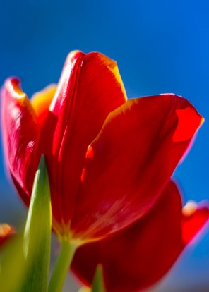 Tulips in the Sun-8232