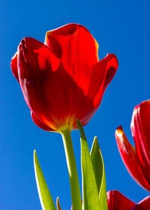 Tulips in the Sun-8238