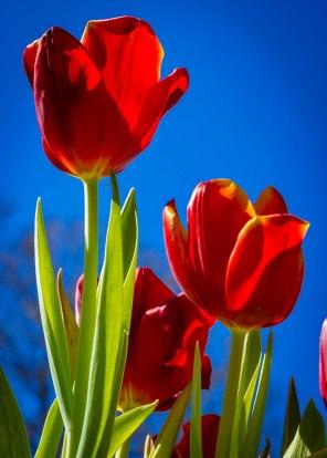 Tulips in the Sun-8239