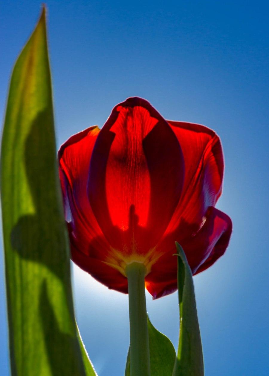 Tulips in the Sun-8241